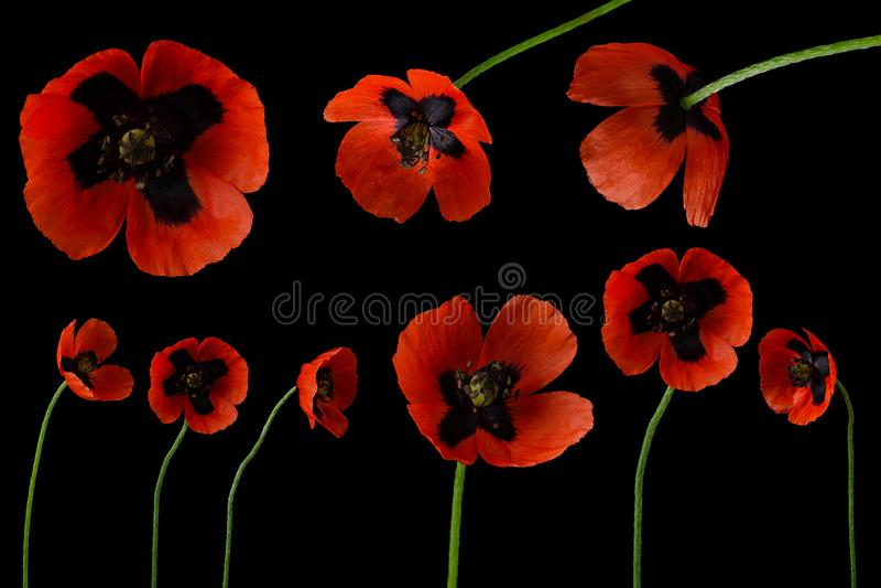Красный цветок мака установил на стержень изолированный на черной темной предпосылке как собрание для дизайна искусства, винтажно стоковая фотография rf