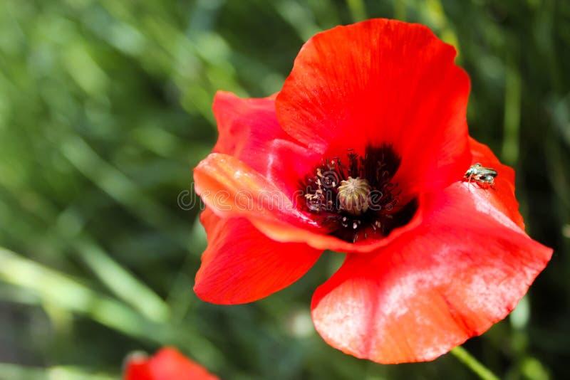 Красный цветок мака стоковая фотография rf