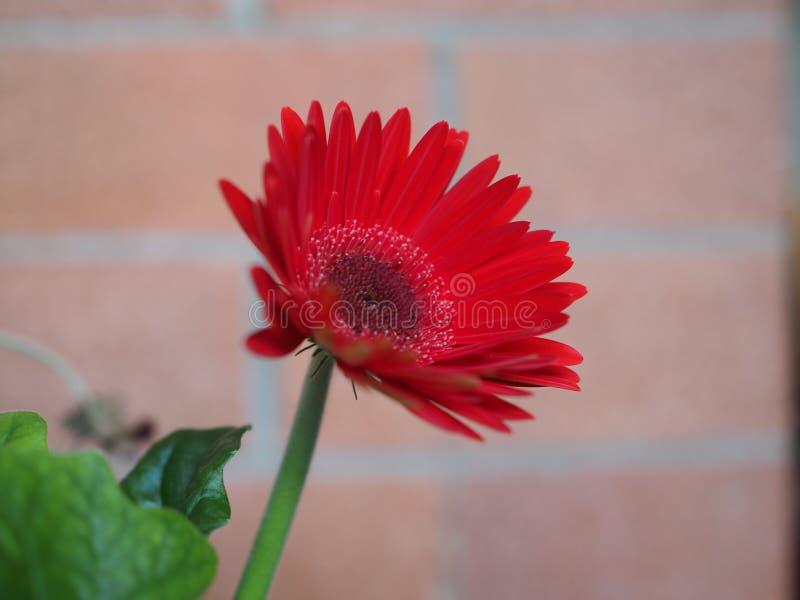 красный цветок маргаритки gerbera стоковое фото rf
