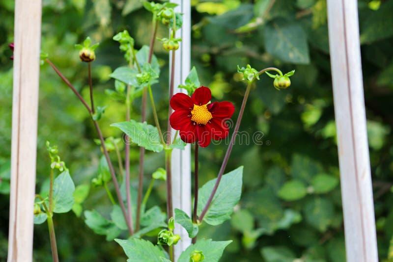 Красный цветок на шпалерах стоковые изображения rf