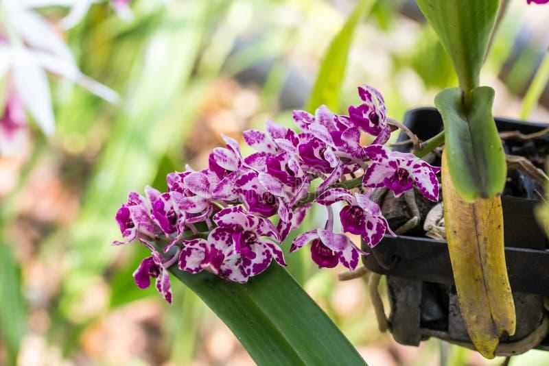Красный цветок орхидеи слона стоковое фото rf