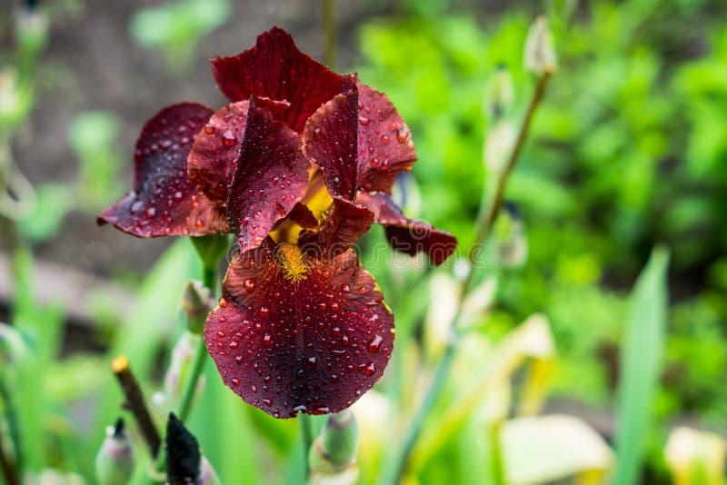 Красный цветок радужки зацветая в саде стоковое фото rf