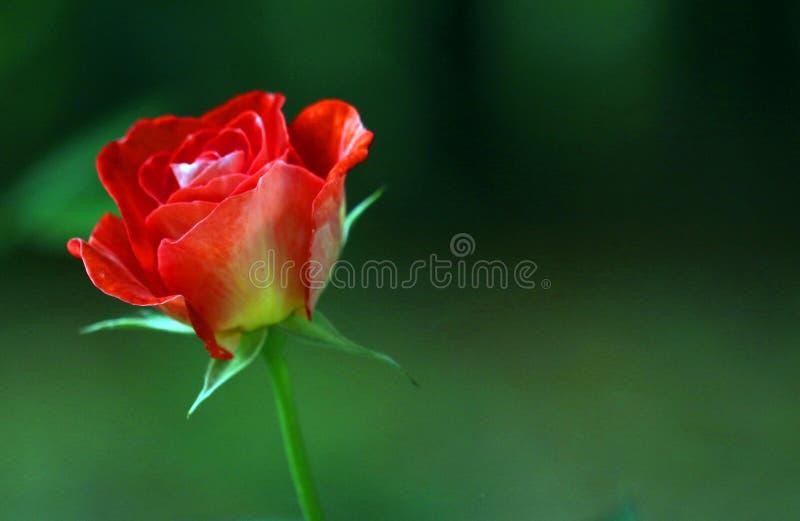 Красный цветок Роза в зеленом заднем саде предпосылки стоковое изображение rf