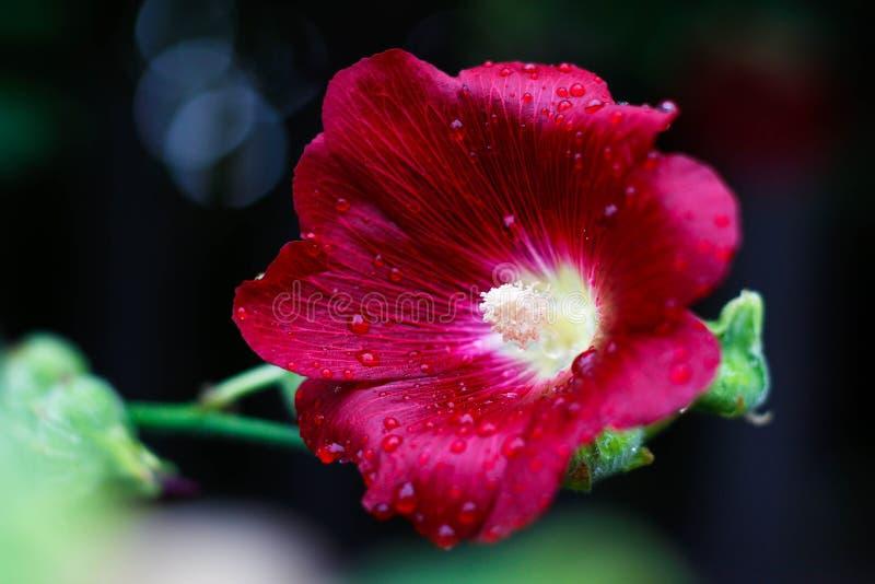 Красный цветок Роса на цветке Падения после дождя closeup стоковое фото rf