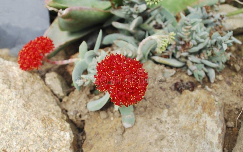 Красный цветок суккулентного perfoliata var Crassula небольш стоковые изображения