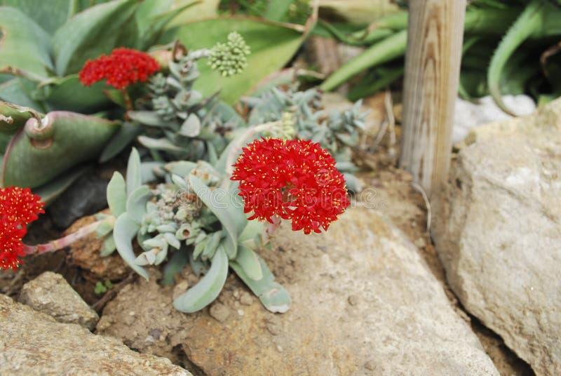 Красный цветок суккулентного perfoliata var Crassula небольш стоковое изображение rf