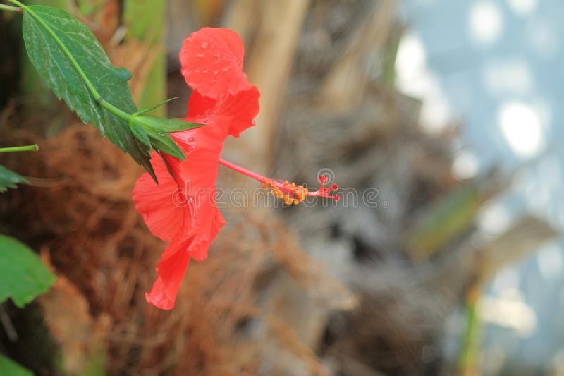 Красный цветок с тычинкой и клеймами стоковые изображения rf