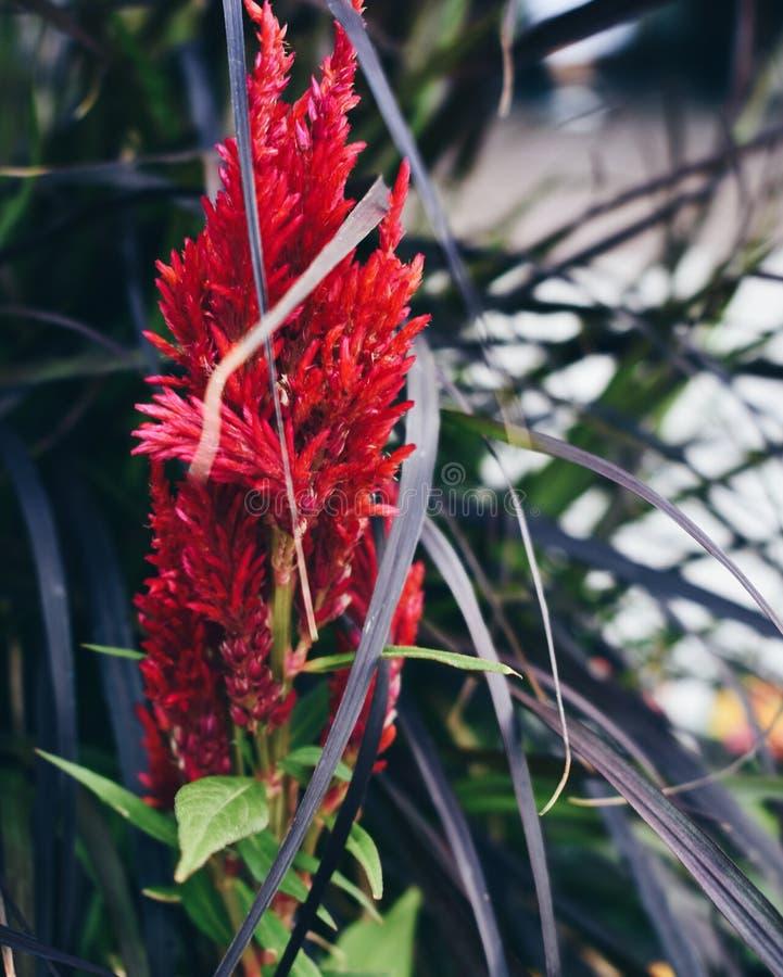 Красный цветок Celosia, сад, Вирджиния стоковые изображения