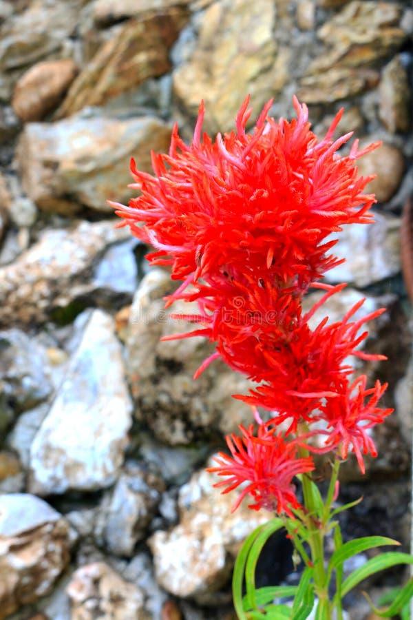 Красный цветок Cockscomb стоковое изображение rf