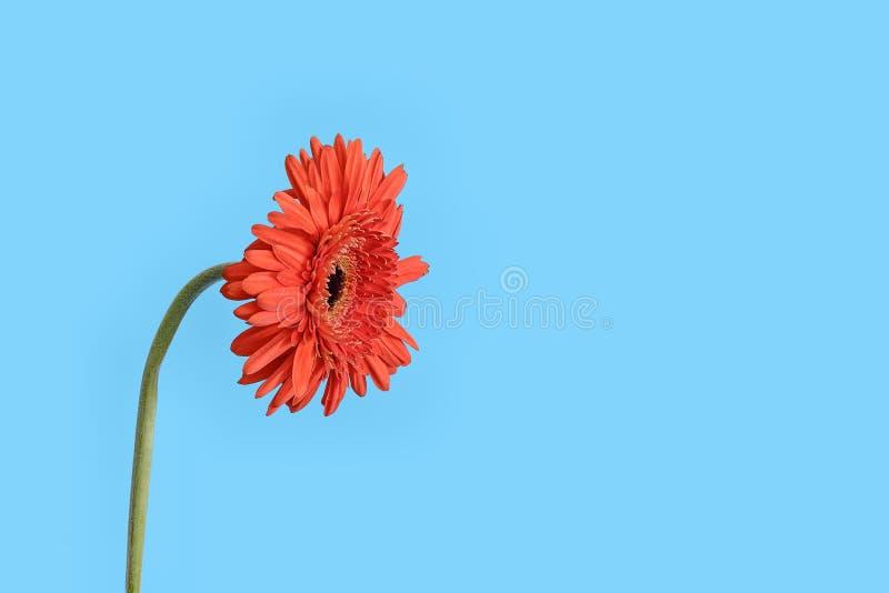 Красный цветок Gerber на голубой предпосылке стоковая фотография rf