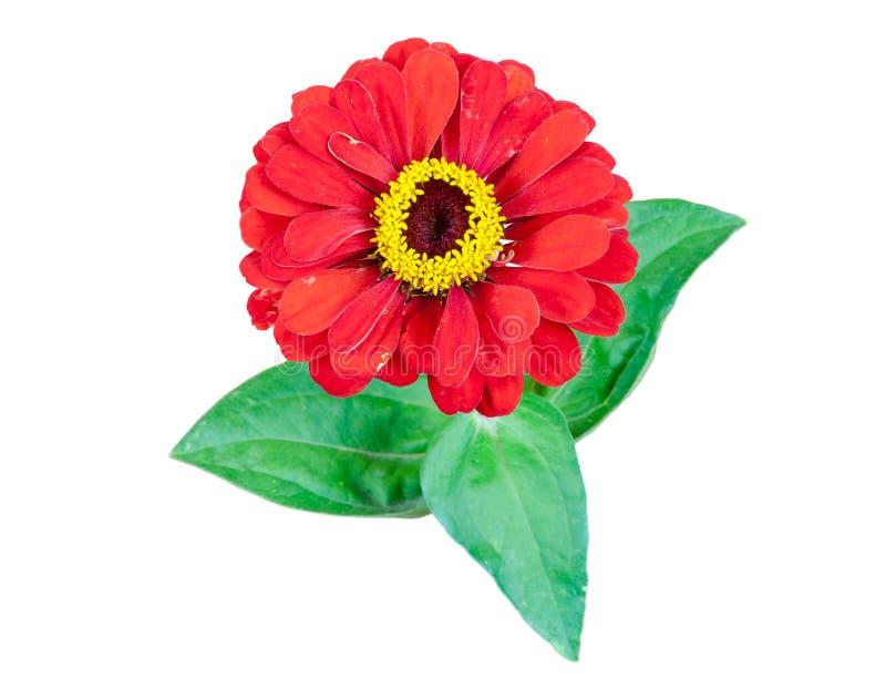 Красный цветок Gerbera с листьями на белой предпосылке стоковые изображения rf