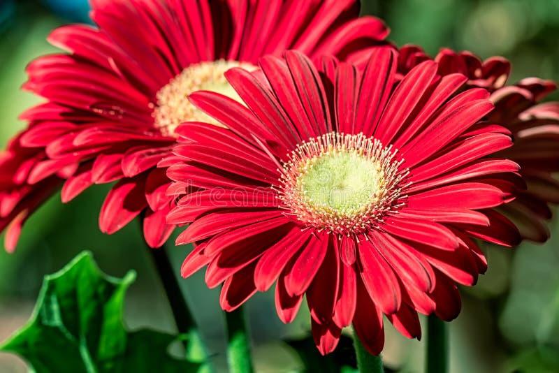 Красный цветок gerbera - фото с деталью красного цветка gerbera под естественным солнечным светом в саде с запачканной предпосылк стоковое фото rf