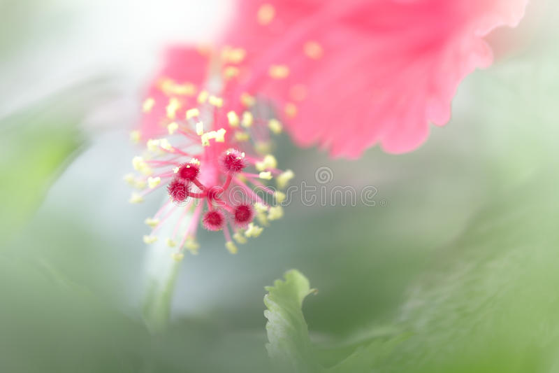 Красный цветок hibiscus стоковое изображение rf