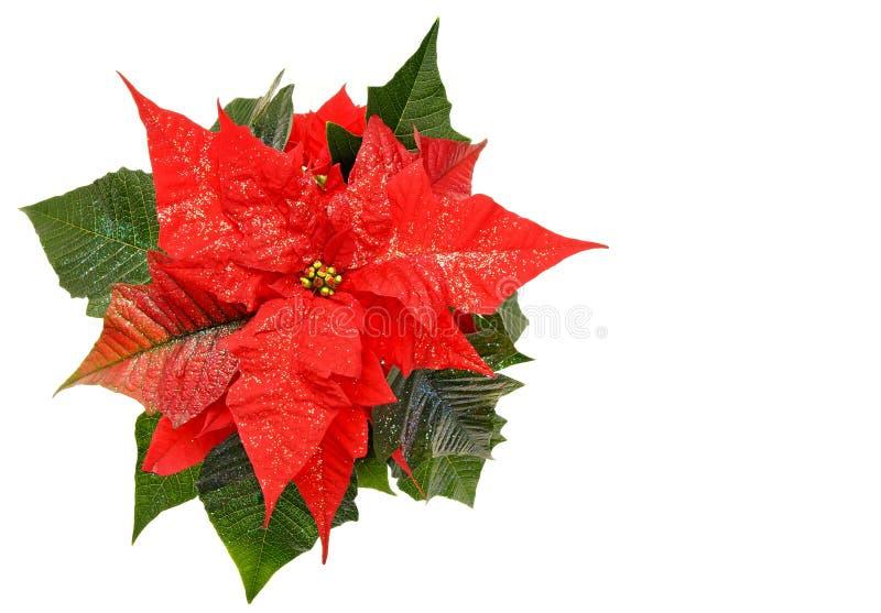 Красный цветок poinsettia стоковое изображение rf
