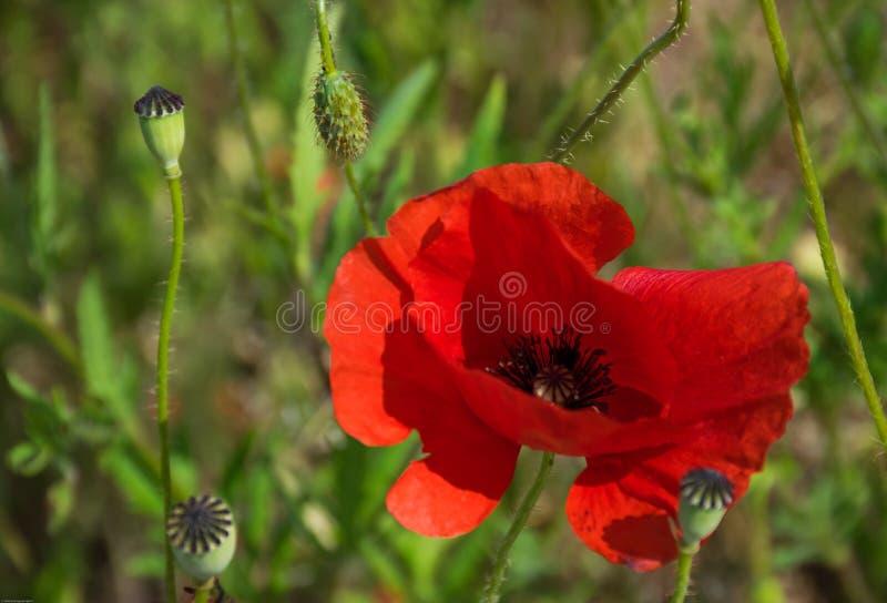 Красный цветок ponceau в зеленом поле стоковые изображения rf
