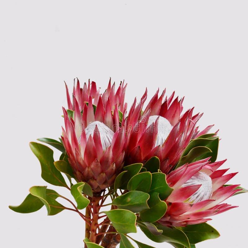 Красный цветок protea для предпосылки стоковое фото