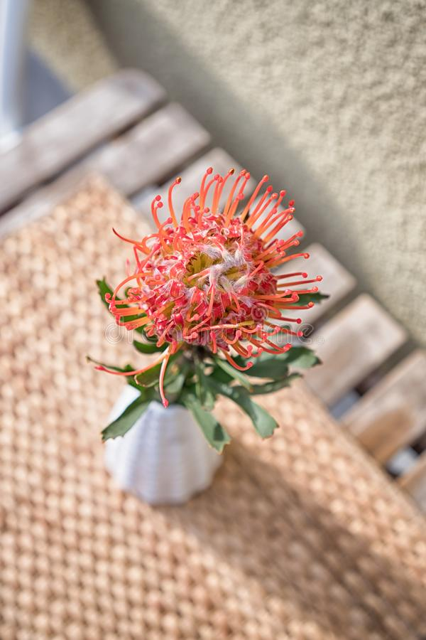 Красный цветок protea pincushion в керамической вазе завод тропический стоковые фото