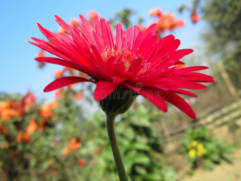 красный цветок zenia стоковое фото