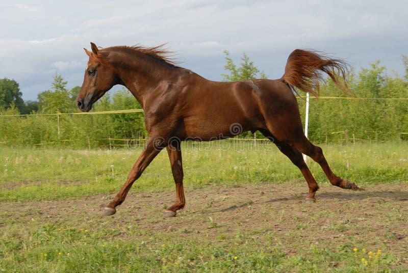 красный цвет аравийской лошади gallop самолюбивый стоковое изображение
