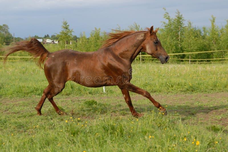красный цвет аравийской лошади gallop самолюбивый стоковая фотография rf