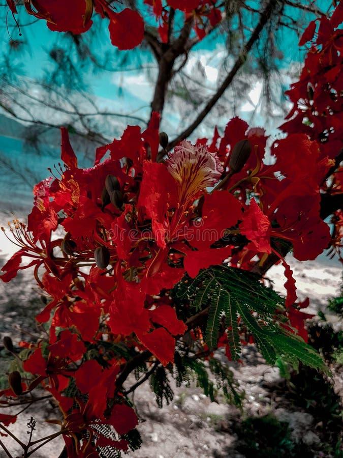 Красный цвет бугинвилии в Вьетнаме в лете стоковая фотография rf