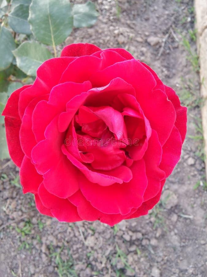 Красный цвет весны поднял стоковое изображение rf