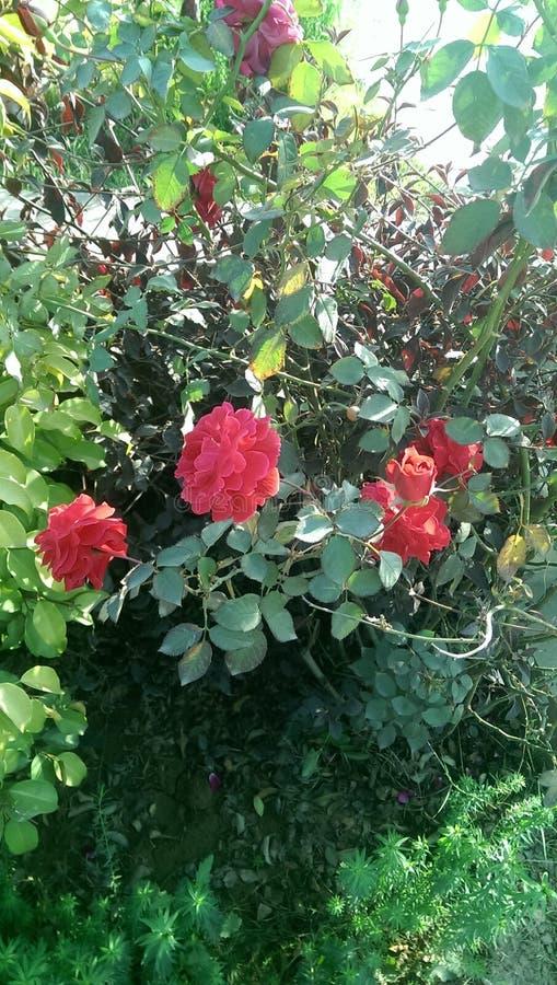 красный цвет влюбленности поднял стоковое изображение rf