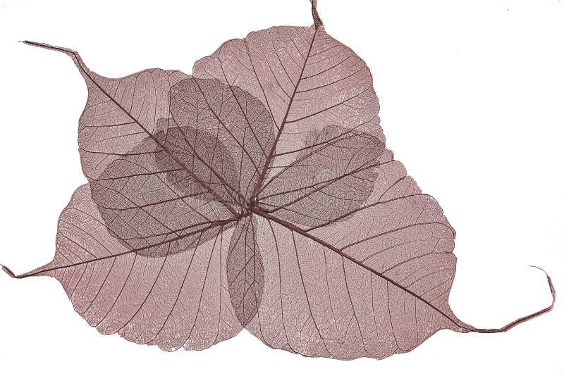 Красный цвет высушил скелеты листьев близко вверх стоковые изображения