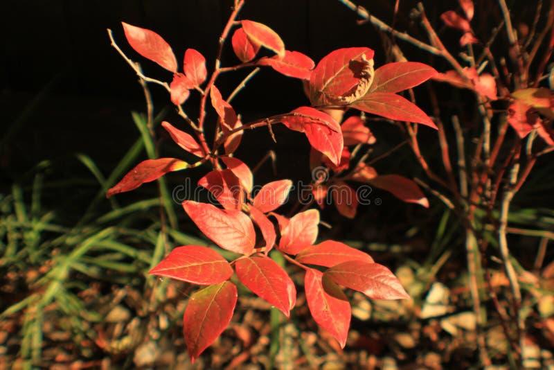 Красный цвет выходит на куст голубики в солнце осени стоковые изображения rf
