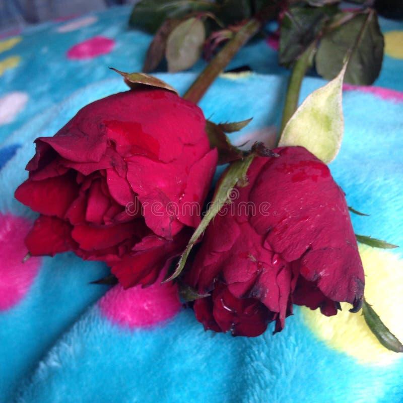 красный цвет влюбленности поднял стоковые изображения rf
