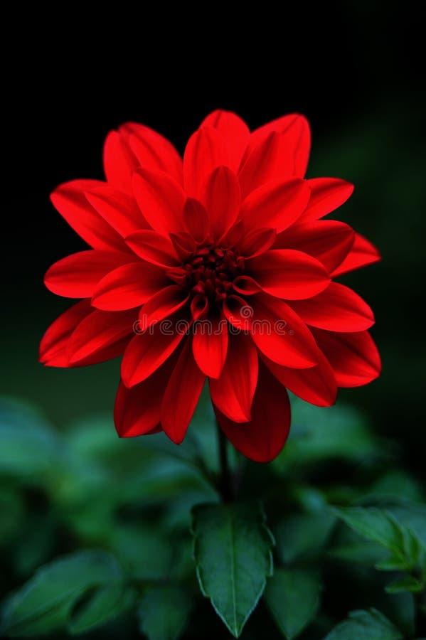 красный цвет георгина стоковое изображение