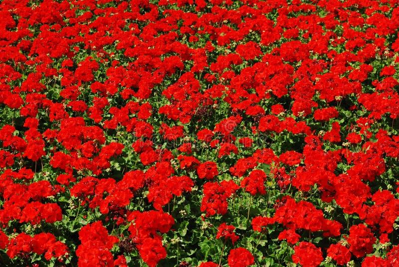 красный цвет гераниума стоковая фотография