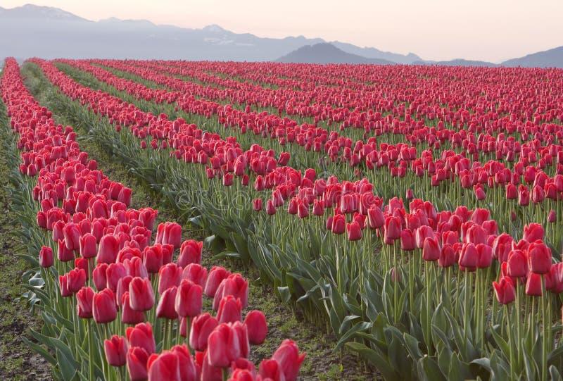 красный цвет гребет тюльпаны стоковое изображение