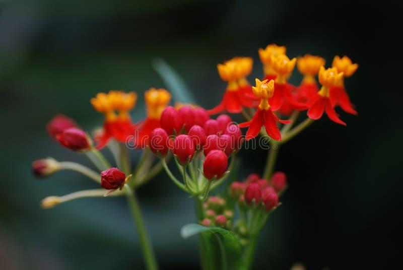 красный цвет дождя пущи цветка померанцовый стоковая фотография