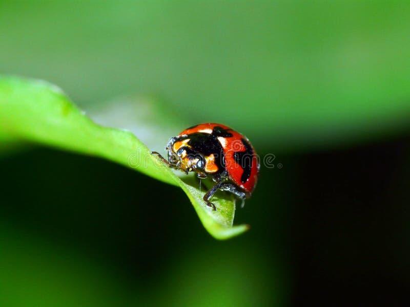 красный цвет жука