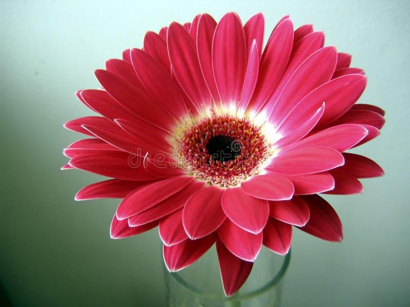 красный цвет зеленого цвета gerbera цветка предпосылки близкий вверх по белизне стоковые фото
