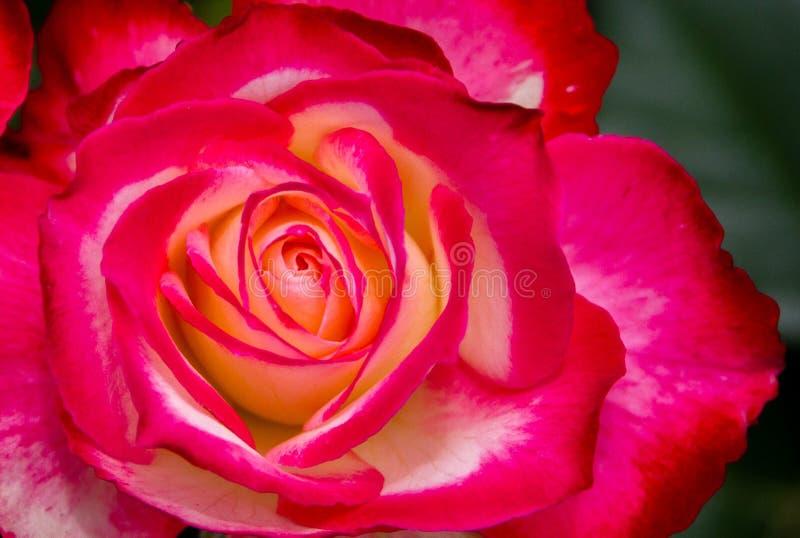 Красный цвет и белая роза стоковые фото