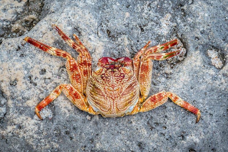 Download Красный цвет и желтый цвет покрасили краба на утесе, Nusa Lembongan соленой воды, Индонезии Стоковое Изображение - изображение насчитывающей crustaceans, меньшие: 81814101