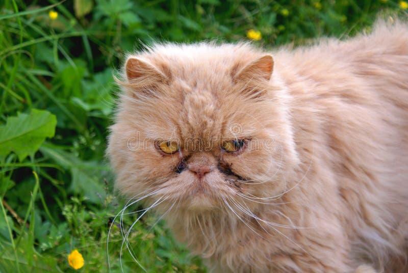 красный цвет кота перский стоковое изображение