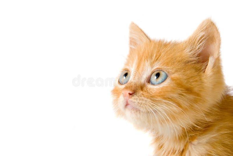 красный цвет котенка стоковая фотография rf