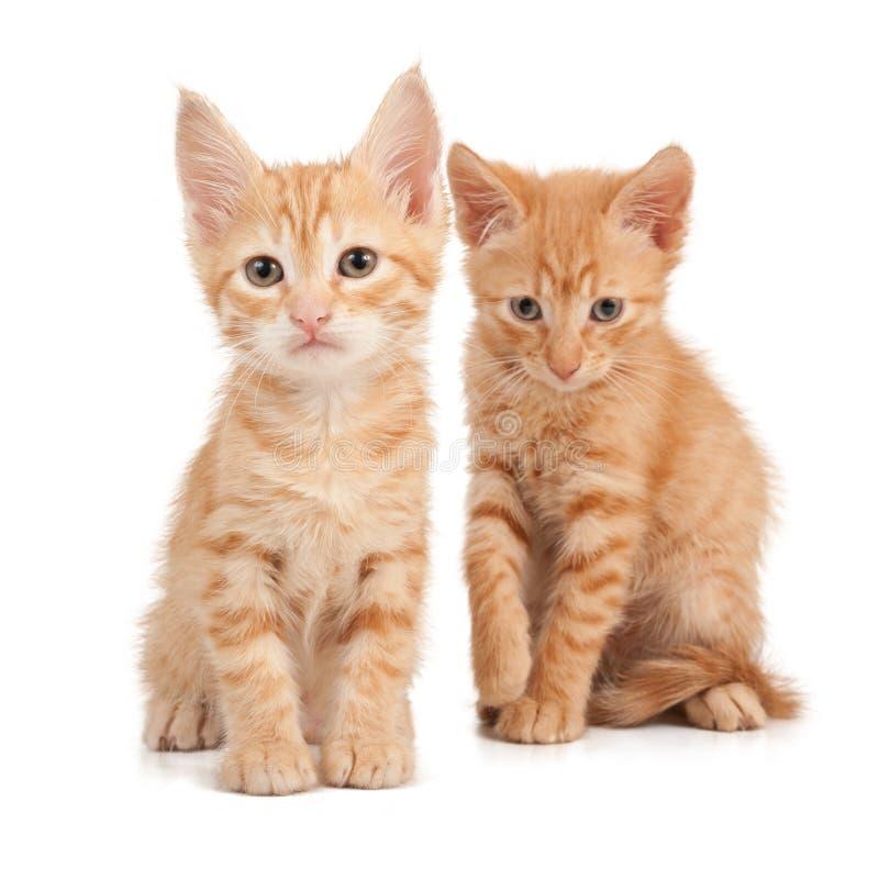 красный цвет 2 котят стоковое фото