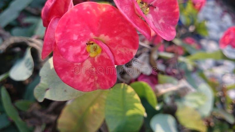 Красный цвет красоты цветка простой прелестный стоковое фото rf