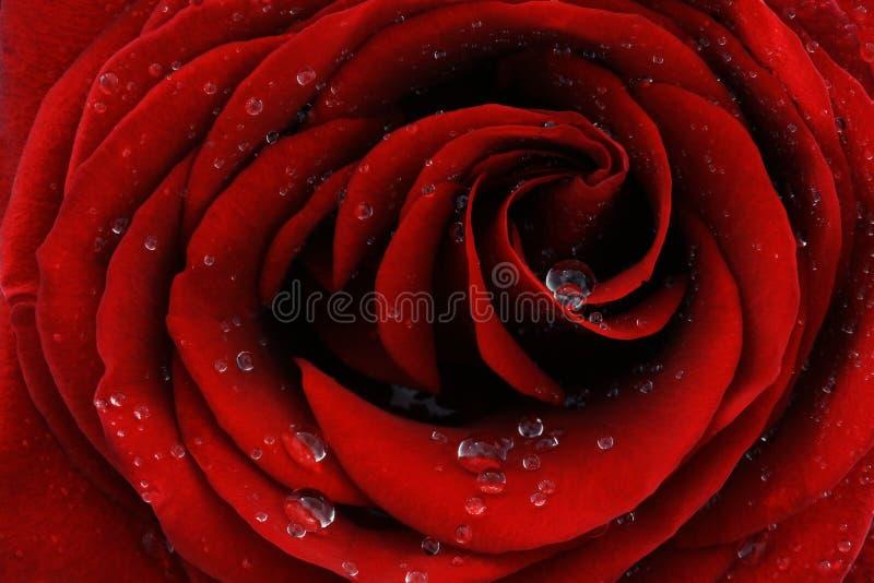 красный цвет крупного плана поднял стоковое фото