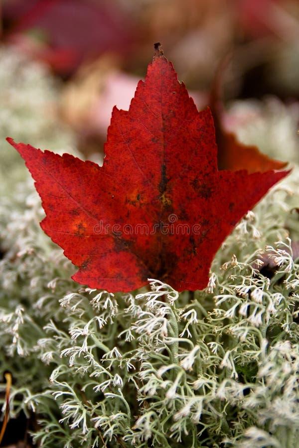 Красный цвет, кленовый лист стоковое фото