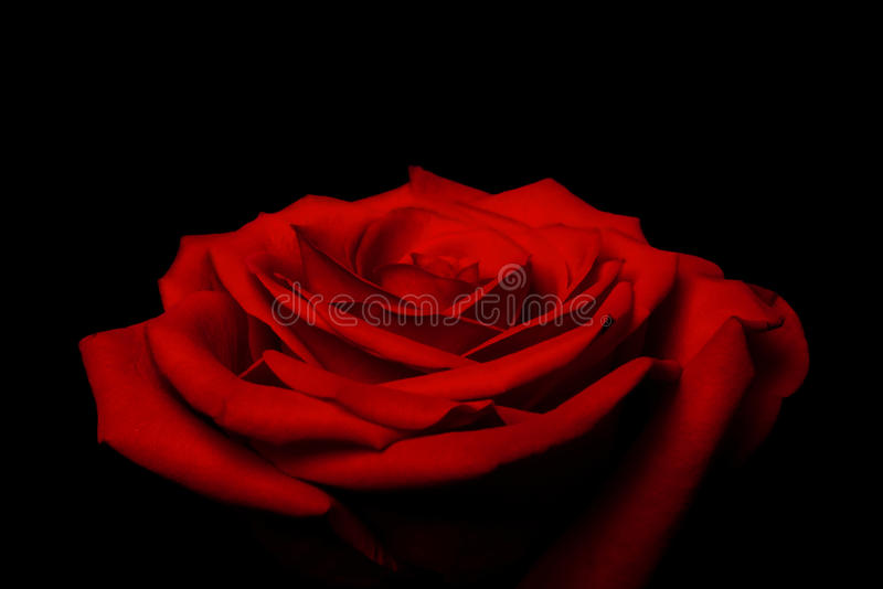 красный цвет лепестков влюбленности слоев поднял стоковое фото rf