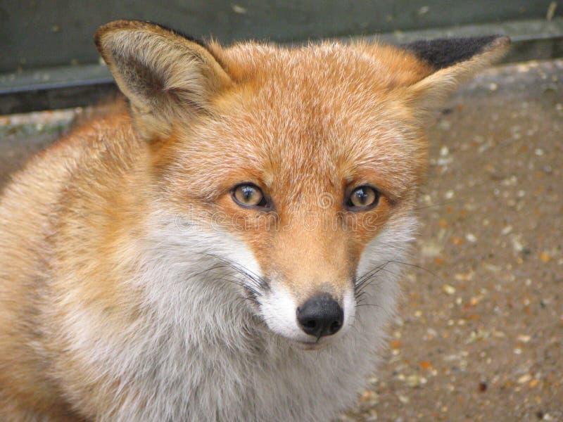 красный цвет лисицы стороны стоковое фото