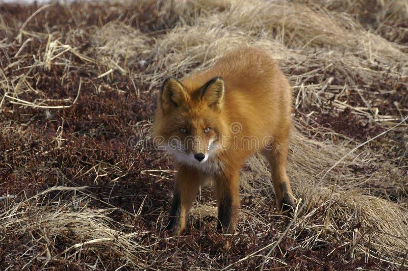 красный цвет лисицы стоковые фотографии rf