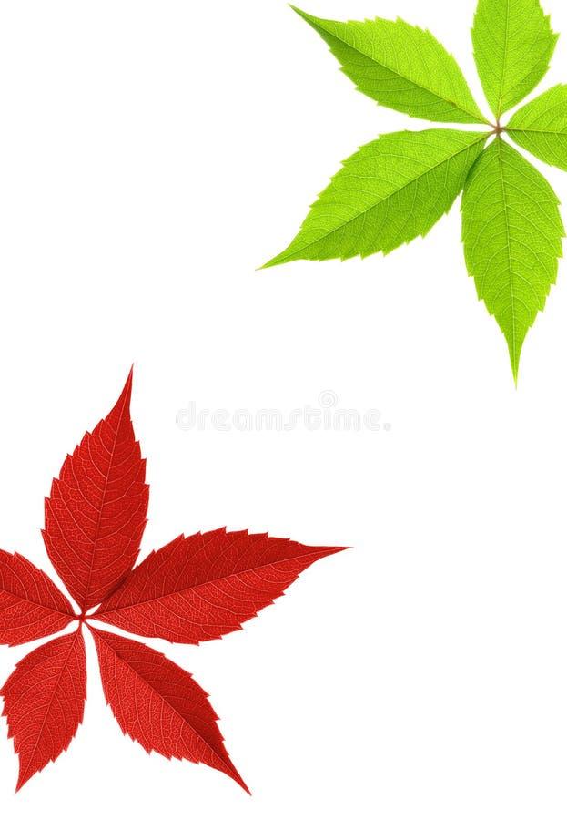 красный цвет листьев граници зеленый стоковые фото