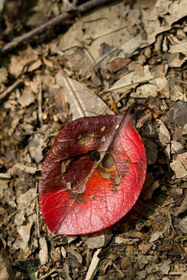 красный цвет листьев предпосылки мертвый стоковое изображение