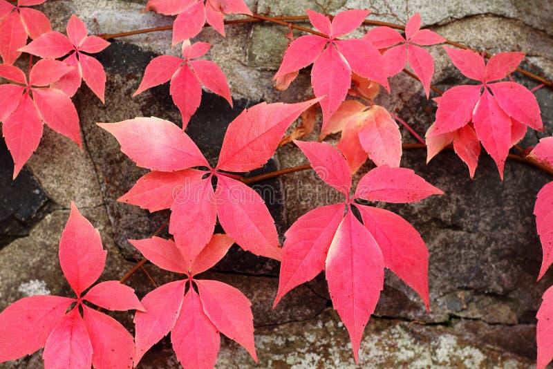 красный цвет листьев предпосылки осени стоковое фото